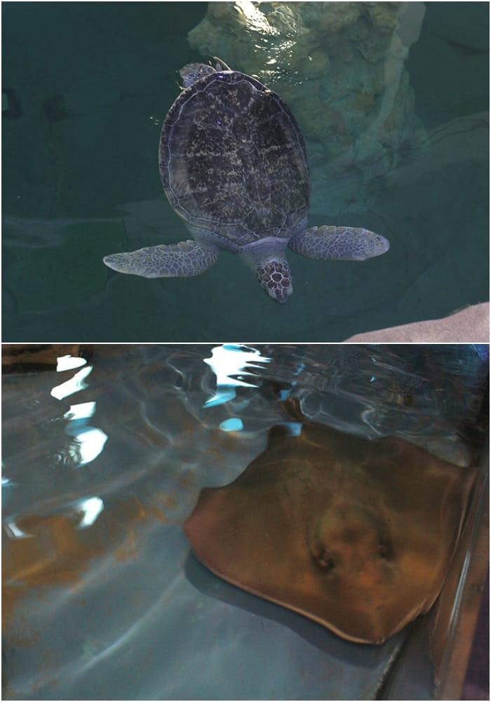 sea-turtle-stingray