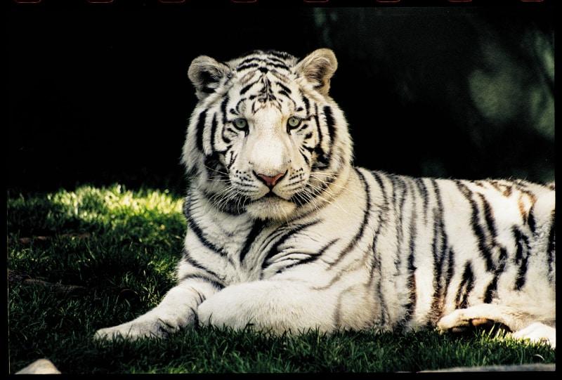 The Mirage Secret Garden White Tiger
