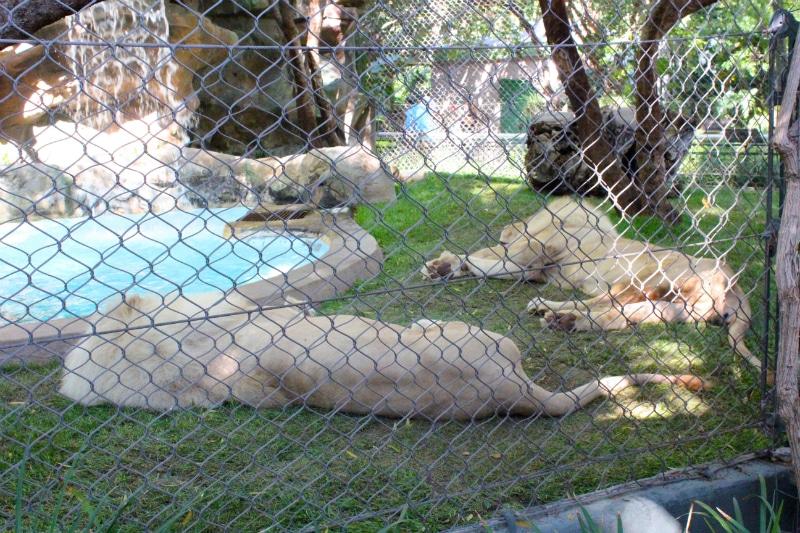 white-lions