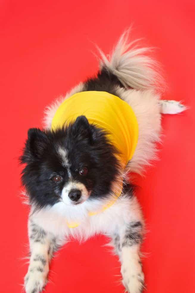Diy emoji costume for ladies their fur babies brite and bubbly diy emoji halloween dog costume mr solutioingenieria Gallery